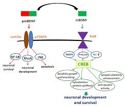 5 Prevalent BDNF Deficiency Symptom